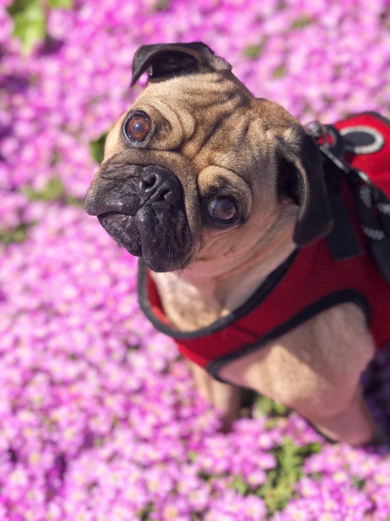 pug, pug mix, pugs, pet sitter, dog sitter, dog walker, Newport Beach, Newport Coast, Newport Beach pet sitter, Newport Beach dog walker, dog, dogs, pup, puppy, dog walking, pet sitting, pet sit