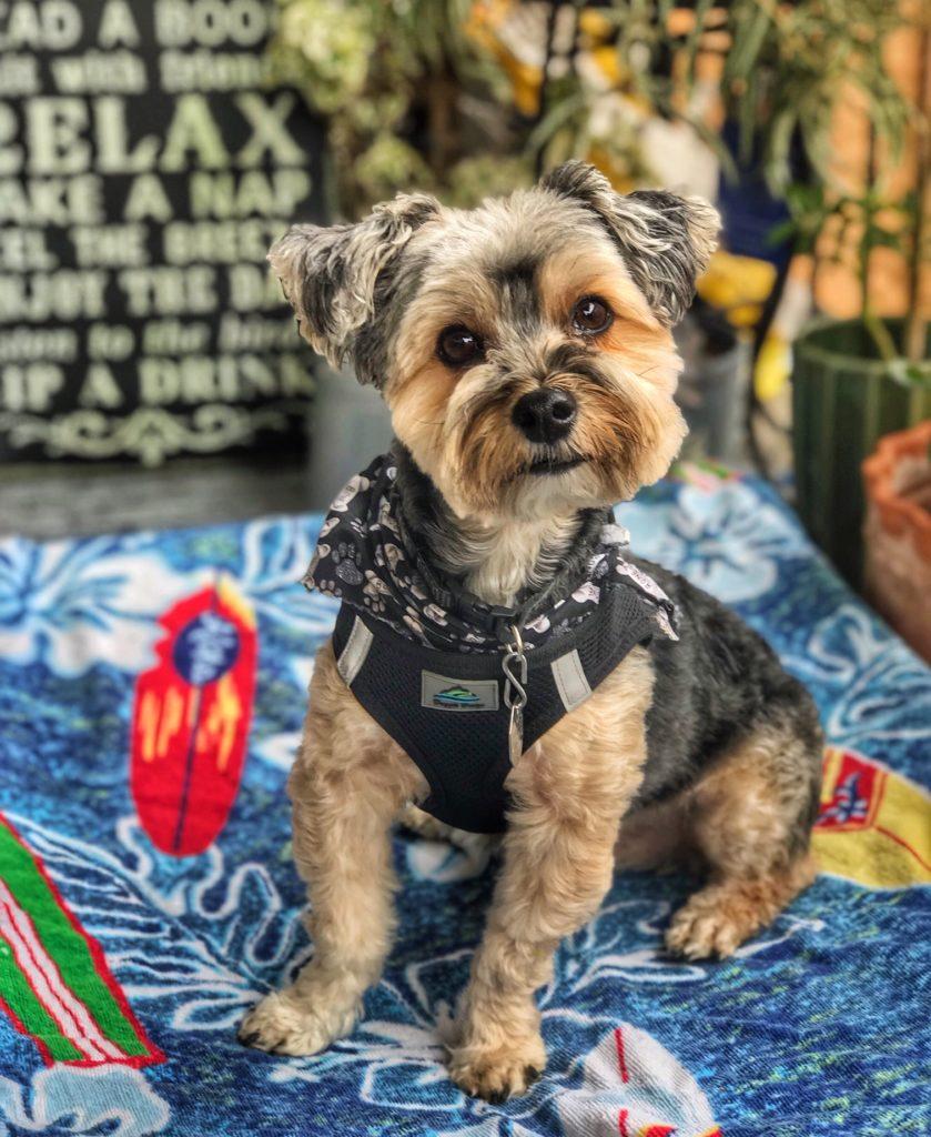 small dog, yorkie, yorkshire terrier, terrier, pet sitter, dog sitter, dog walker, Newport Beach, Newport Coast, Newport Beach pet sitter, Newport Beach dog walker, dog, dogs, pup, puppy, dog walking, pet sitting, pet sit