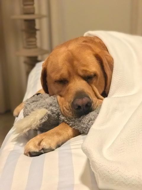 lab, labrador, labradorretreiver, dog, dogs, dog walker, pet sitter, dog sitter, Newport Beach dog walker, pet, pets, pup, puppy, dalmatian, dog walk, sleepover