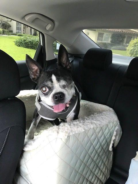 boston terrier, dog, dogs, dog walker, pet sitter, dog sitter, Newport Beach dog walker, pet, pets, pup, puppy, dalmatian, dog walk,