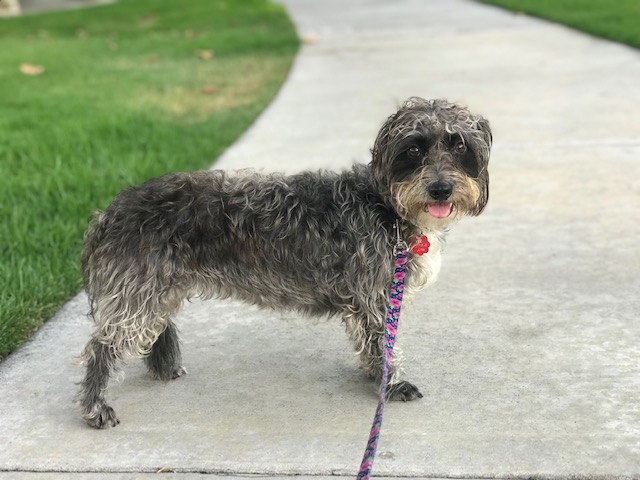 terrier, rescue dog, dog, dogs, dog walker, pet sitter, dog sitter, Newport Beach dog walker, pet, pets, pup, puppy, dalmatian, dog walk,