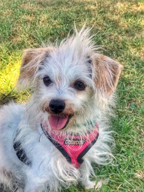 rescue dog, terrier, rescue, dog, dogs, dog walker, pet sitter, dog sitter, Newport Beach dog walker, pet, pets, pup, puppy, dalmatian, dog walk,