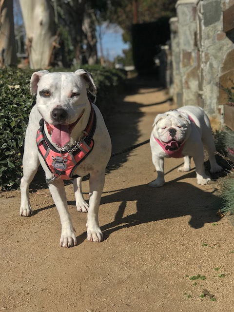 dog, dogs, dog walk, dog walker, newport beach, irvine, pet sitter, rescue dogs, bulldog, pittbull